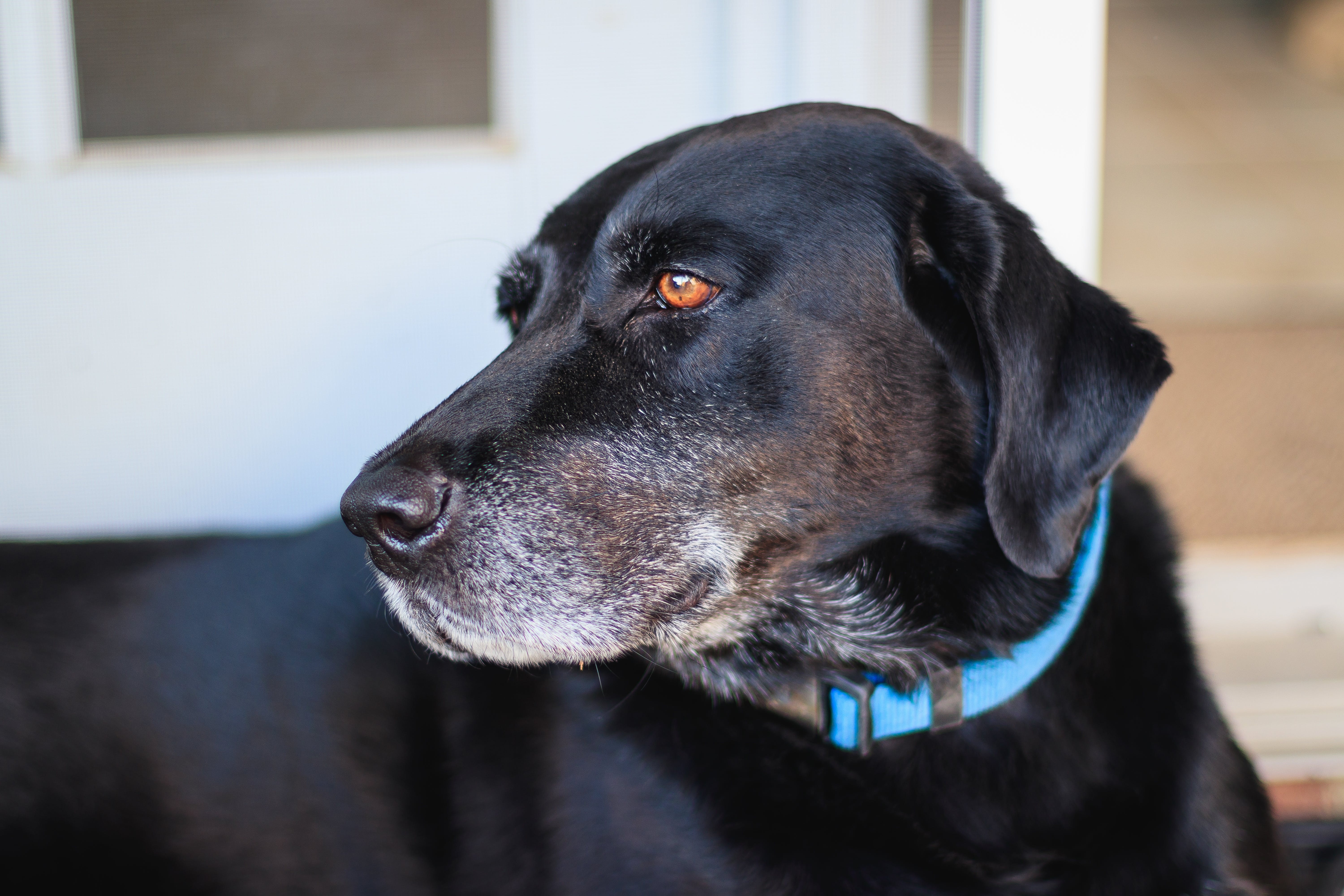 Adult Black Labrador Retriever With Blue Collar on Focus Photo