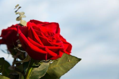 Photos gratuites de fleur, fleurs rouges, gros plan, horizon