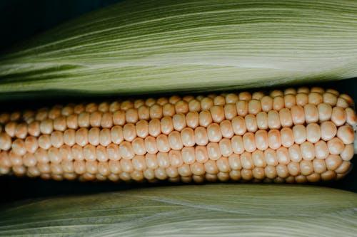 Foto d'estoc gratuïta de blat de moro, collita, fresc, panotxa
