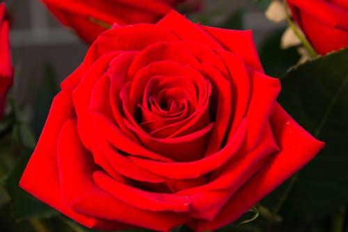 Photos gratuites de fleur, fleurs rouges, gros plan, nature