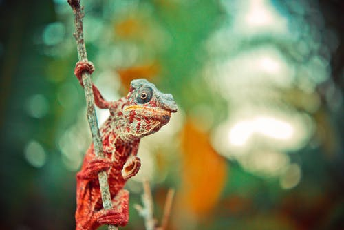 Red and Gray Reptile on Tree Branch