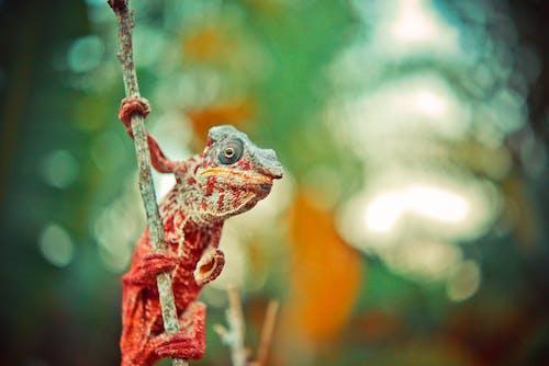 คลังภาพถ่ายฟรี ของ กิ้งก่า, ก้านดอก, คาเมเลียน, พื้นหลังเบลอ