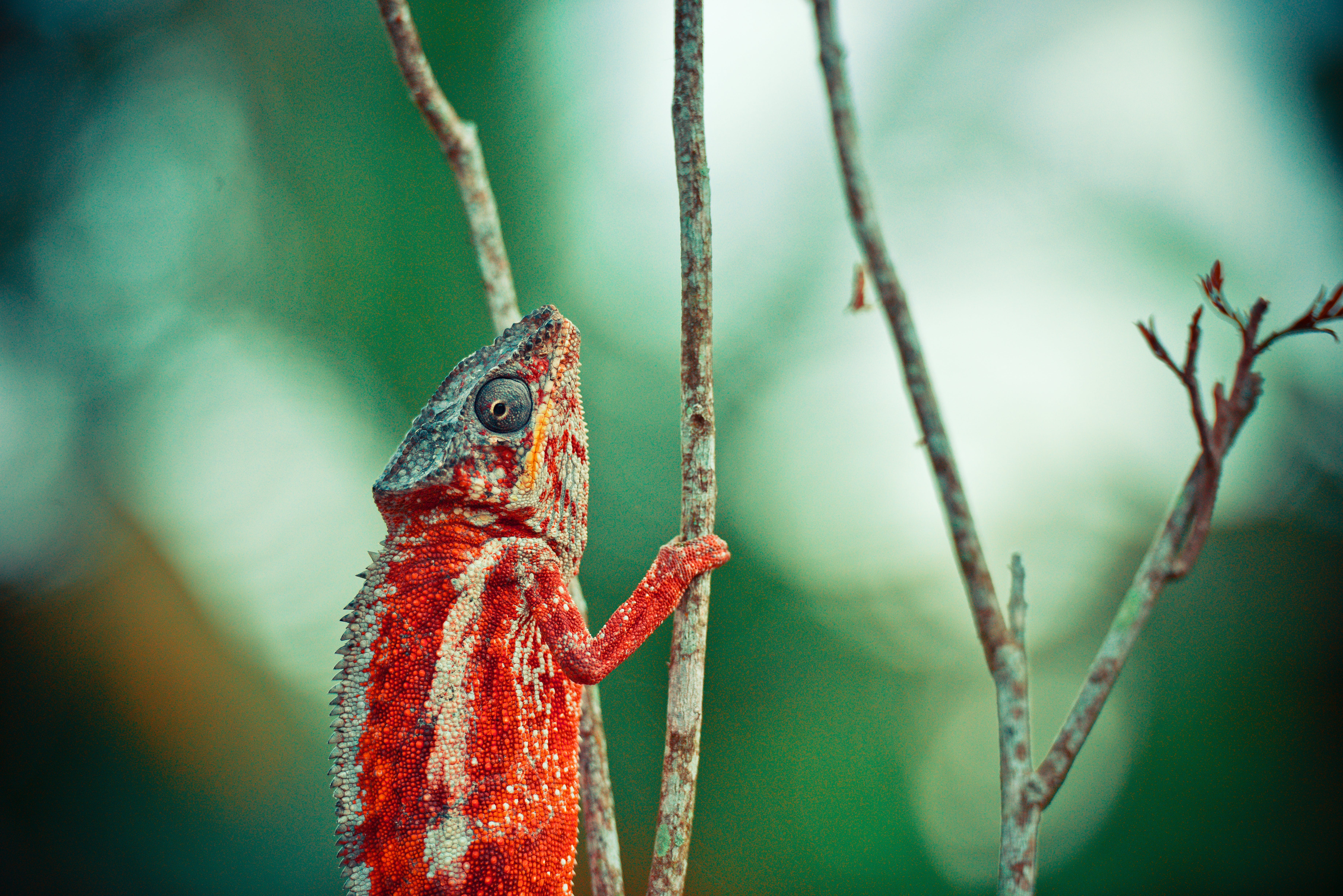 Red and Beige Chameleon on Twig