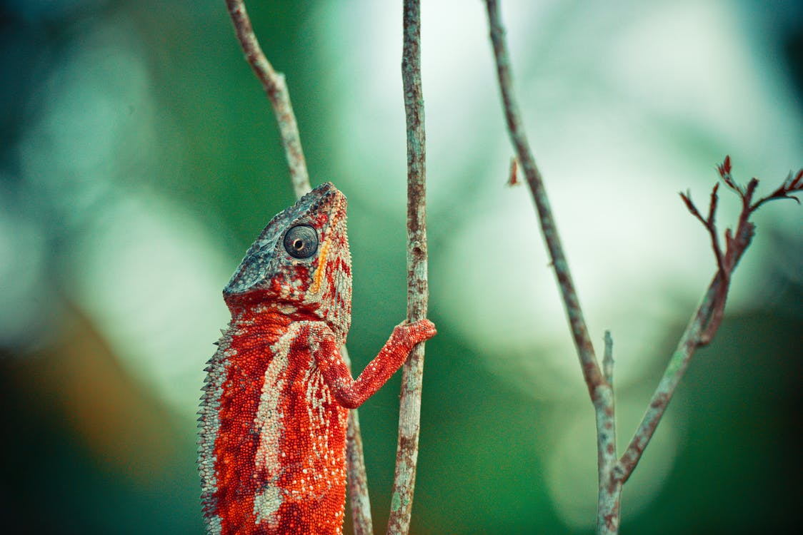 красно бежевый хамелеон на веточке