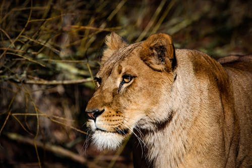 Lioness Near Twigs