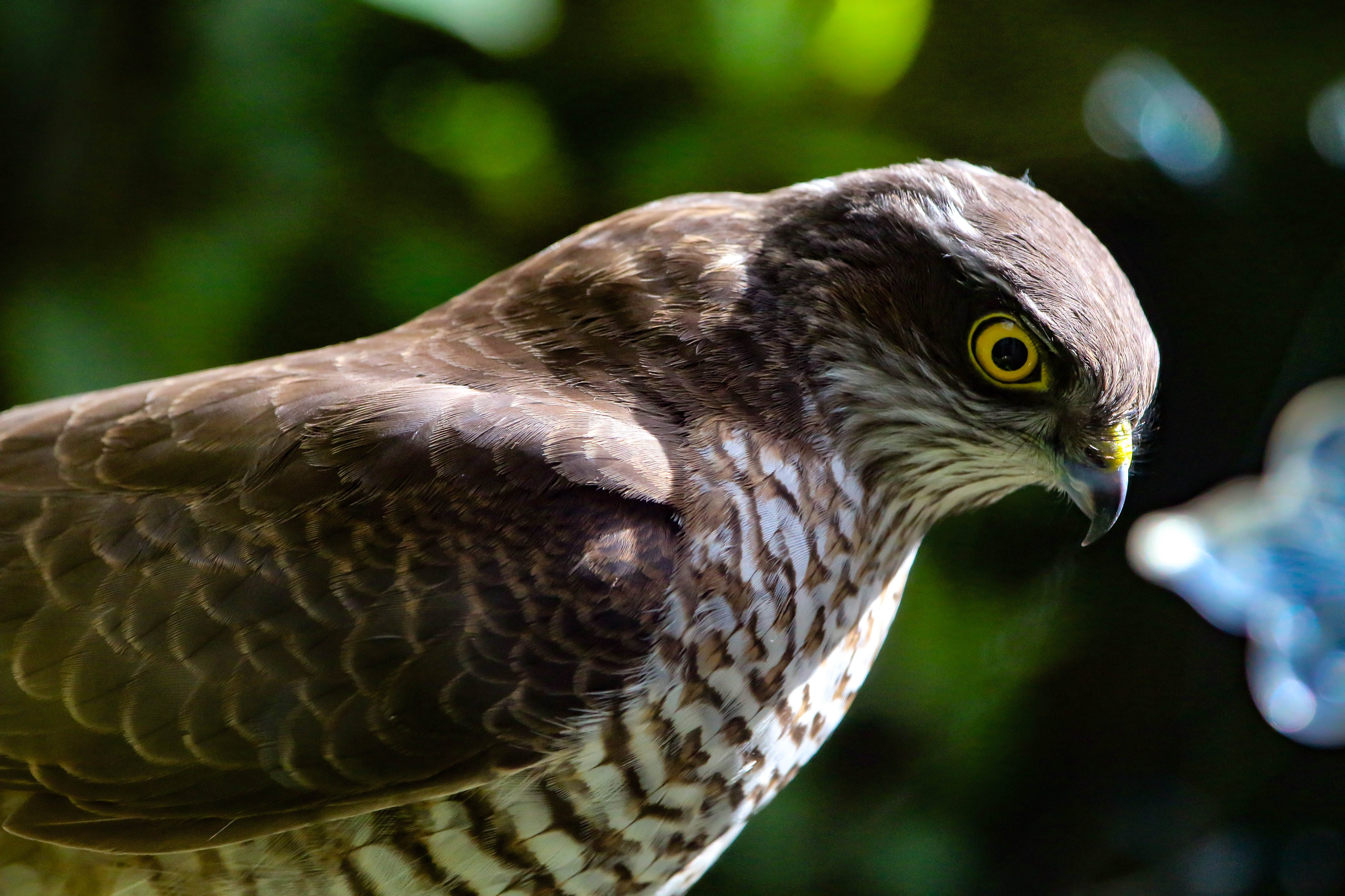 Brown Hawk