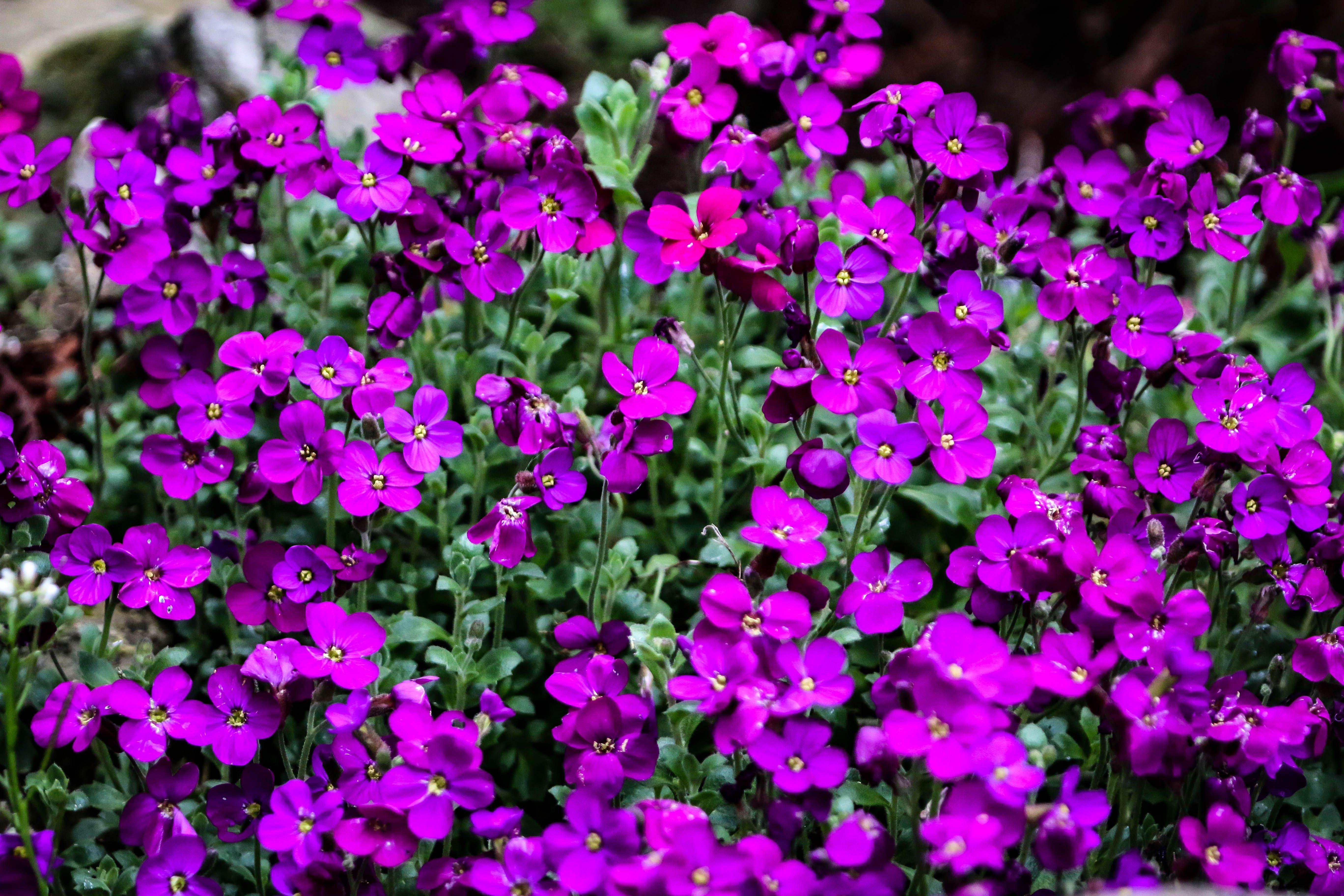 Free stock photo of garden flower