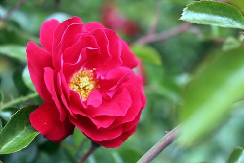 Δωρεάν στοκ φωτογραφιών με κόκκινο λουλούδι