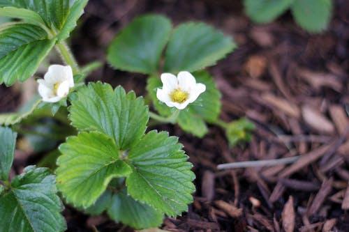Δωρεάν στοκ φωτογραφιών με λευκό λουλούδι, λουλούδι φράουλα