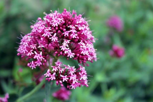 Δωρεάν στοκ φωτογραφιών με ροζ λουλούδι