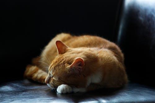 Gratis lagerfoto af dyr, hjemlig, kæledyr, kat