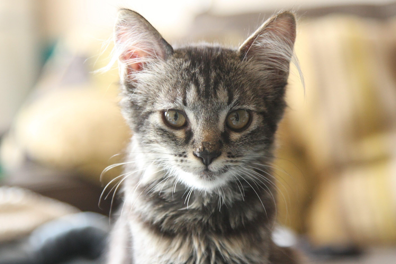 Free stock photo of adoption, cat, kitten, pet