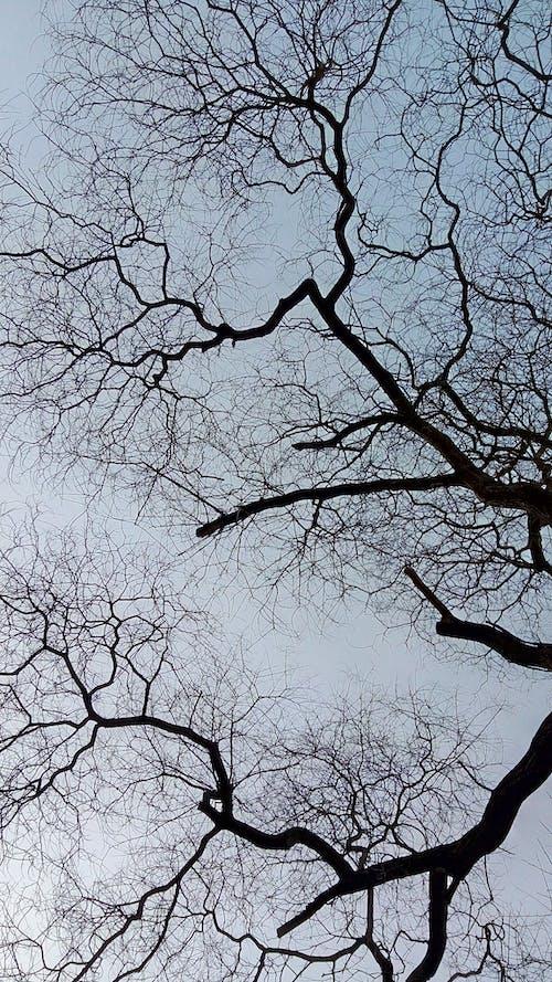 Gratis stockfoto met bladloze boom, blauwe lucht, boom, boomtakken