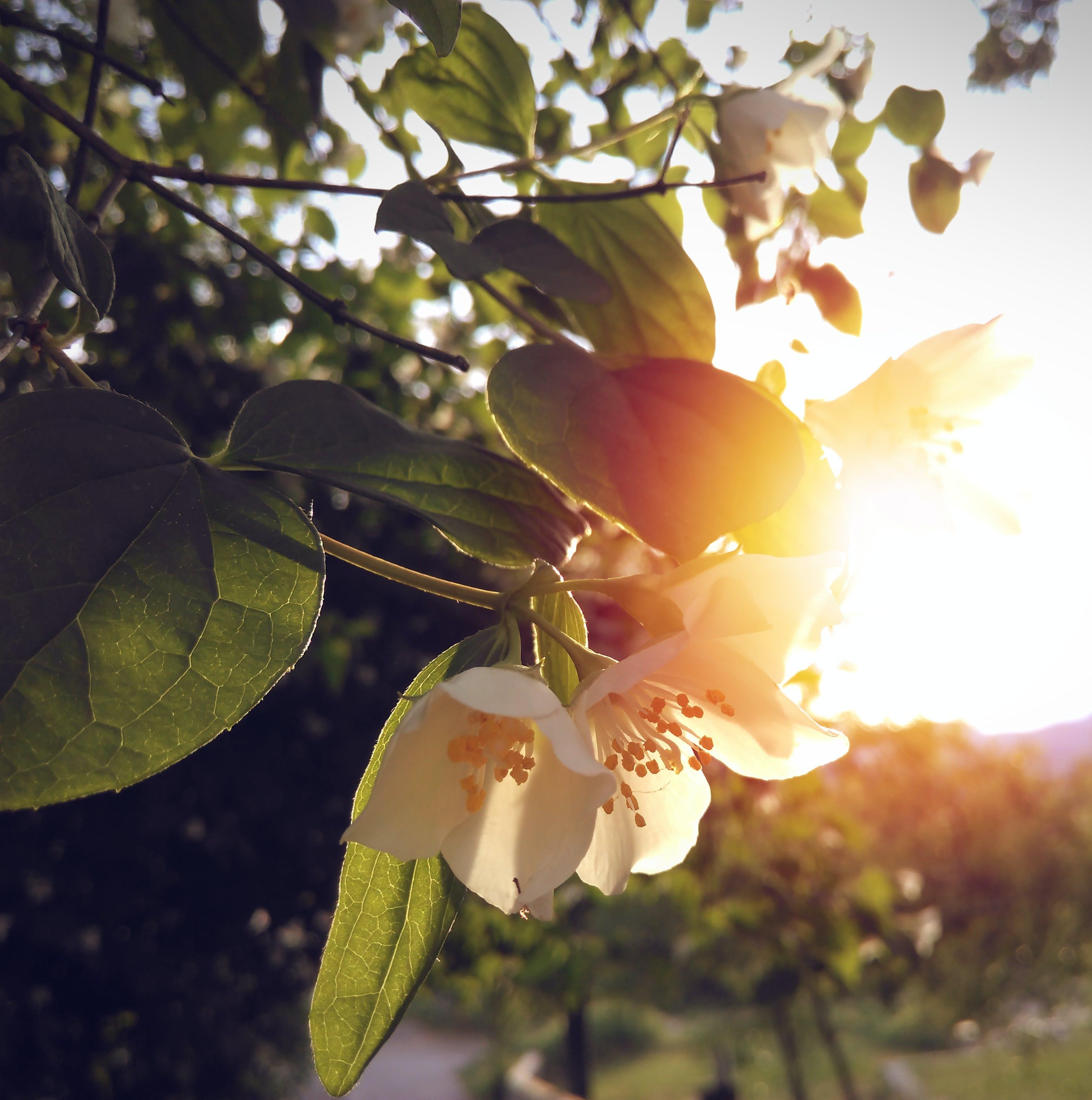 Gratis lagerfoto af blomster, gylden sol, hvid blomst, Solskær