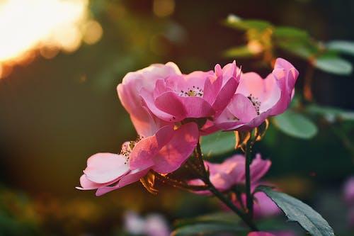 Fotografia Di Messa A Fuoco Selettiva Di Fiori Rosa