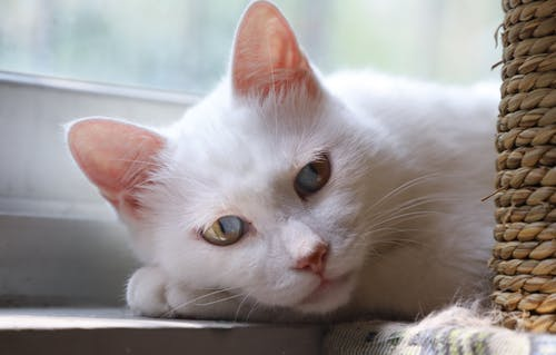 White Cat Lying Near Window