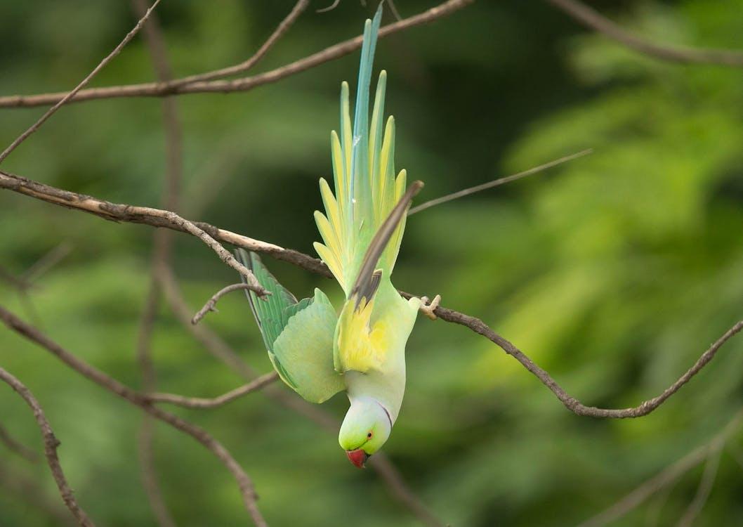 Rose-ring Parakeet
