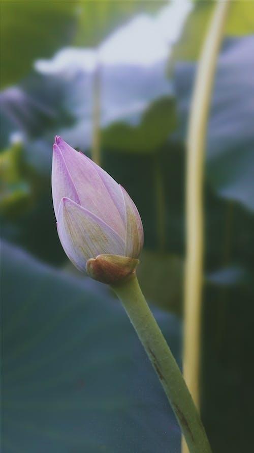 蓮花 的 免费素材照片