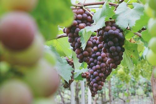 紫葡萄, 葡萄 的 免费素材照片