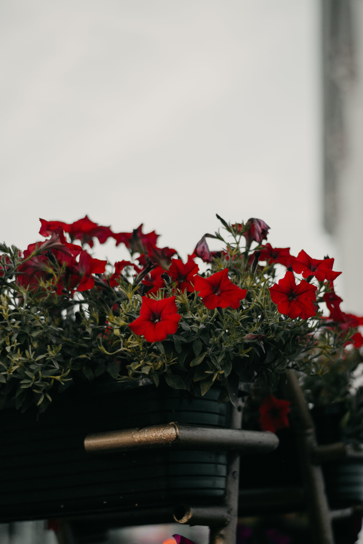 Red Petunia Flowers in Basket
