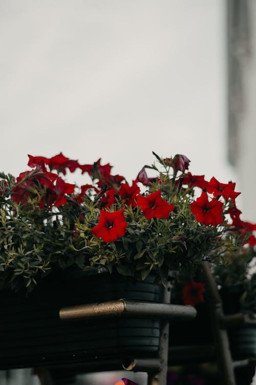 Kostnadsfri bild av anläggning, blomkruka, blommor, blomning