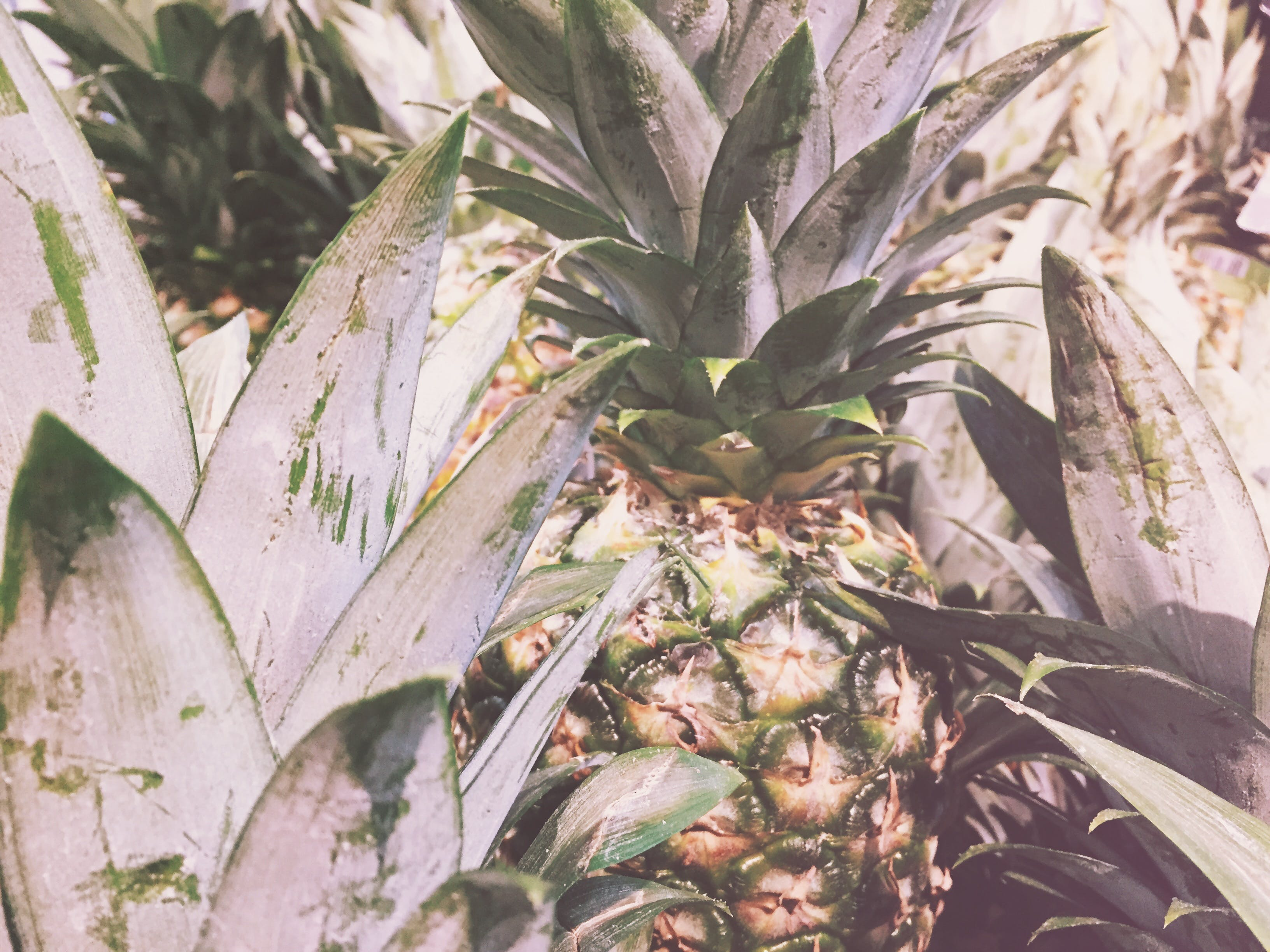 Free stock photo of summer, pineapple, fruit, tropical