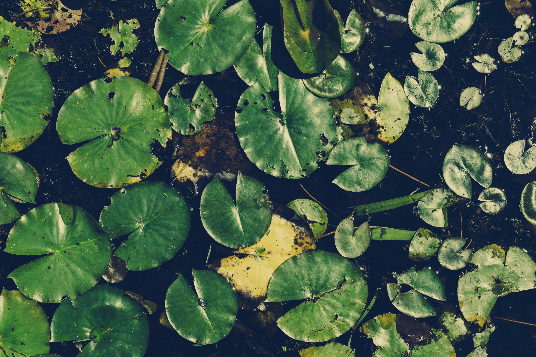 aquatic plants, floating, leaves