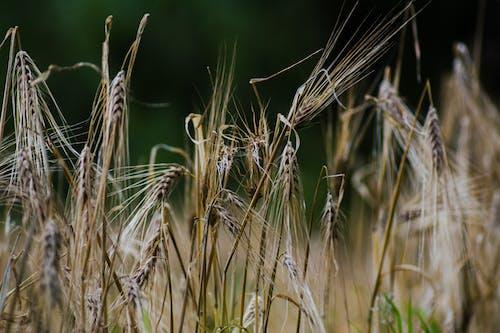 Foto profissional grátis de chácara, colheita, grama, pasto