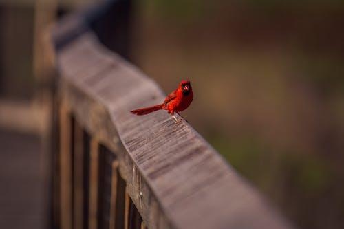 Photos gratuites de cardinal, rouge