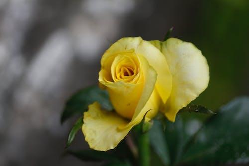 Gratis arkivbilde med 4k-bakgrunnsbilde, bakgrunnsbilde med roser, fargerikt bakgrunnsbilde, gul