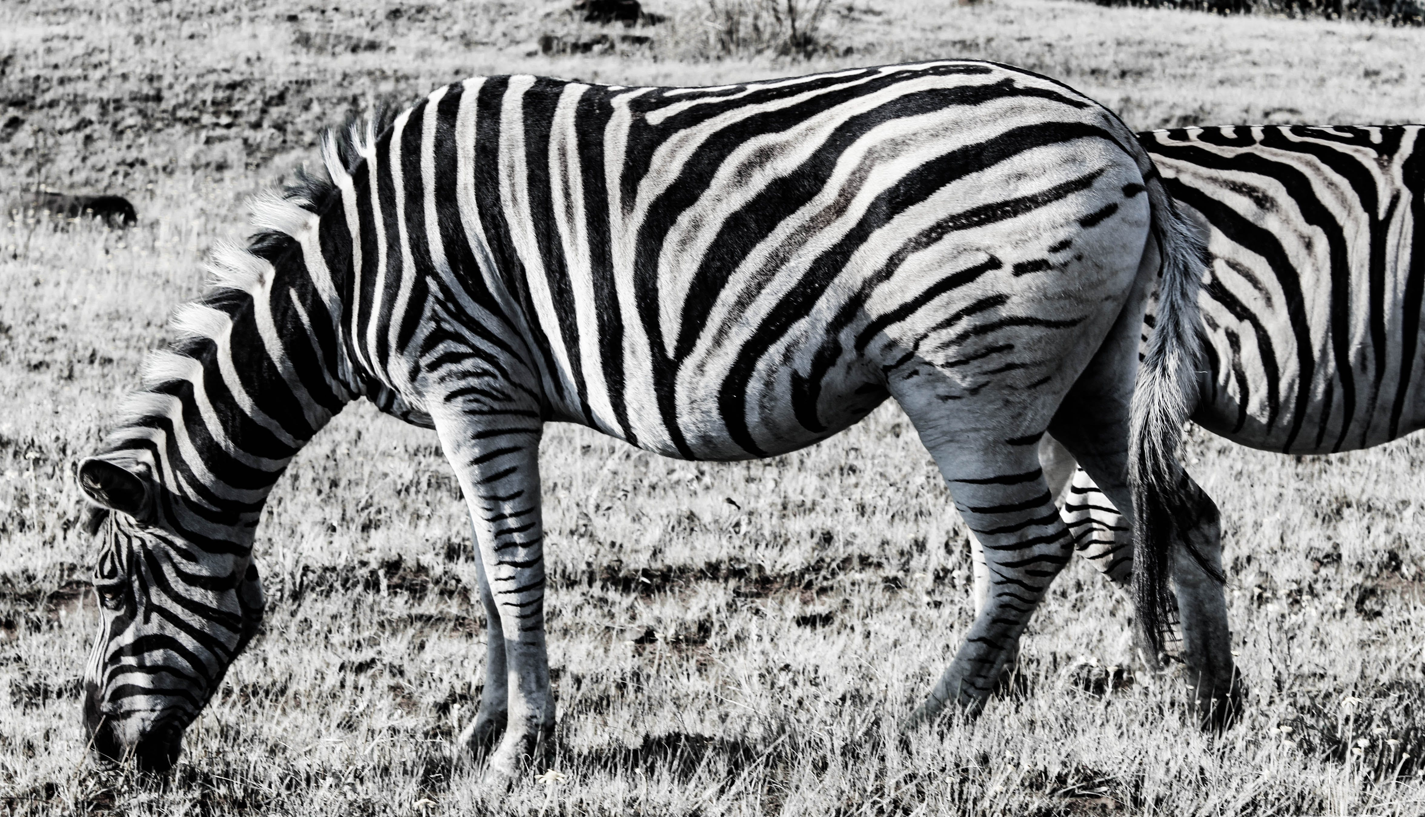 Free stock photo of africa, animal, black and white, cool wallpaper
