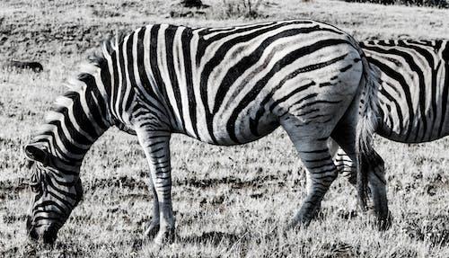 Kostnadsfri bild av afrika, cool bakgrundsbild, djur, mat