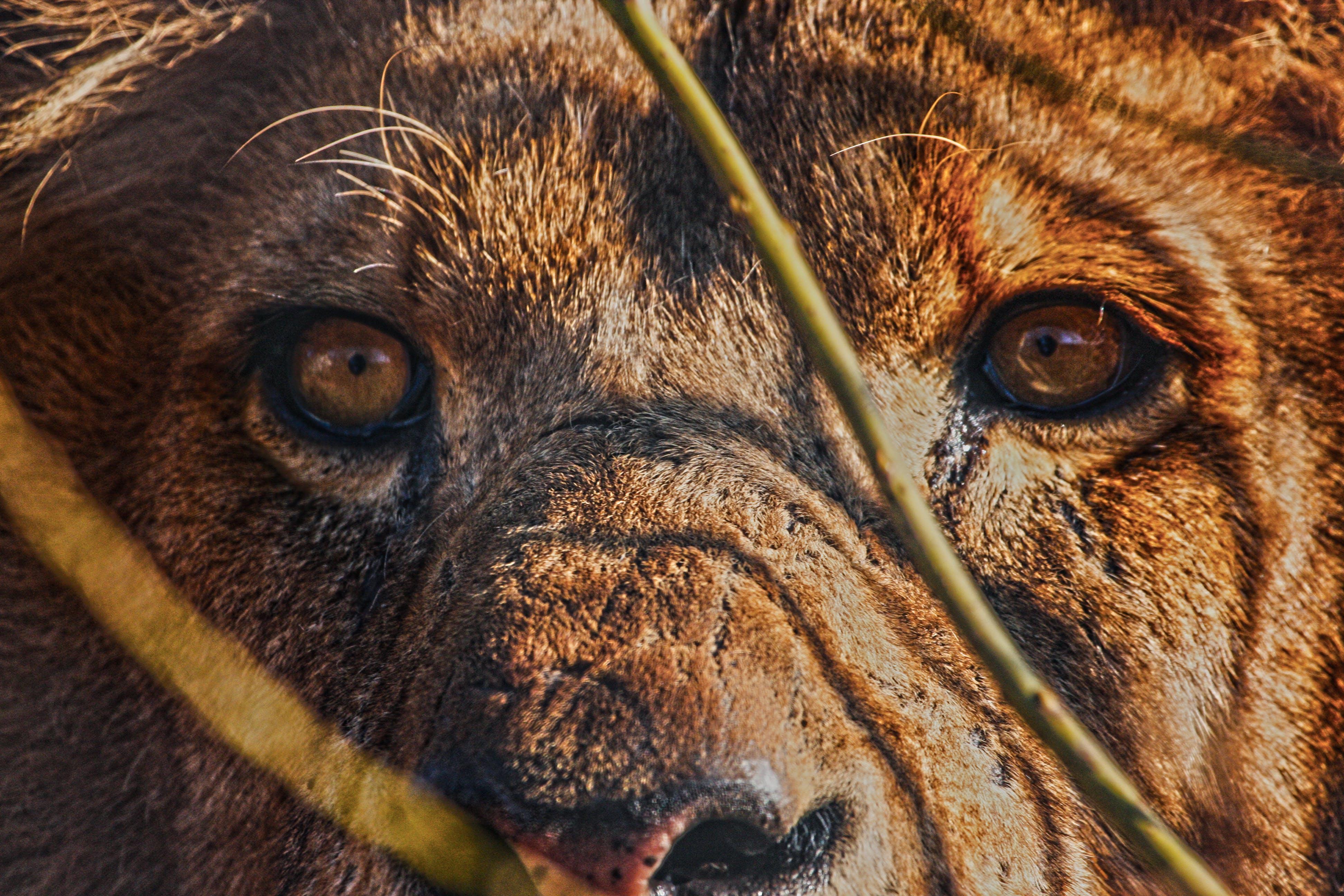 Free stock photo of cat's eyes, lion