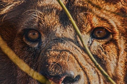 Бесплатное стоковое фото с кошачий глаз, лев