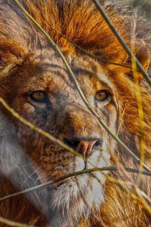 Бесплатное стоковое фото с лев