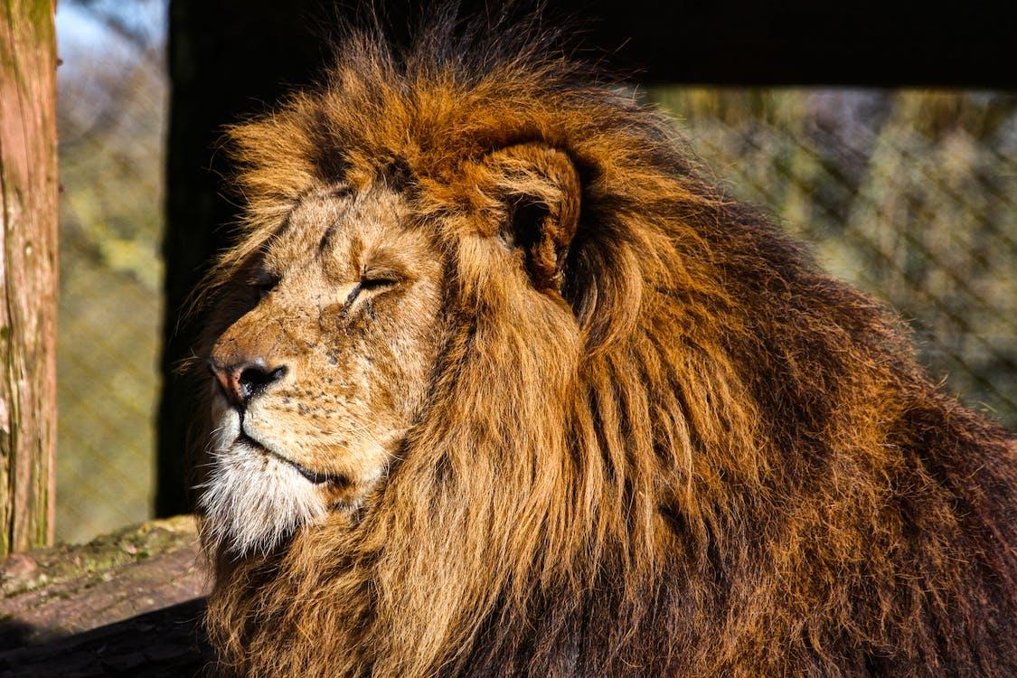 Lion Sitting Under The Sun