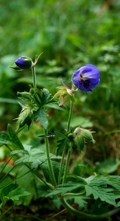 Photos gratuites de fleur bleue, fleur de prairie, géranium, pakost
