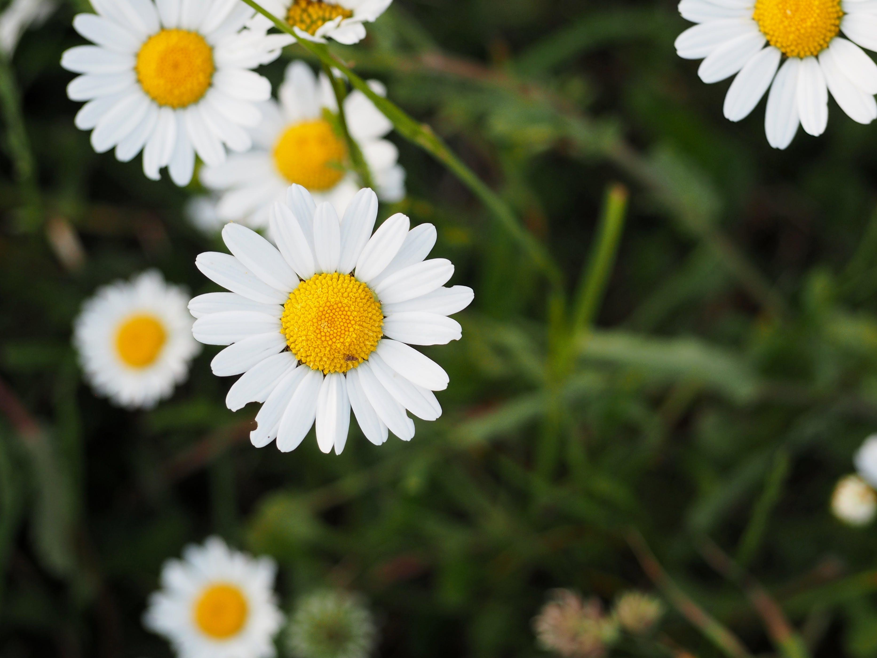 Kostenloses Stock Foto zu blume, gänseblümchen, natur
