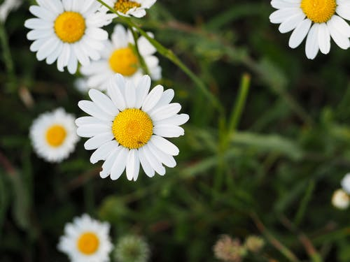 Free stock photo of daisy, flower, nature