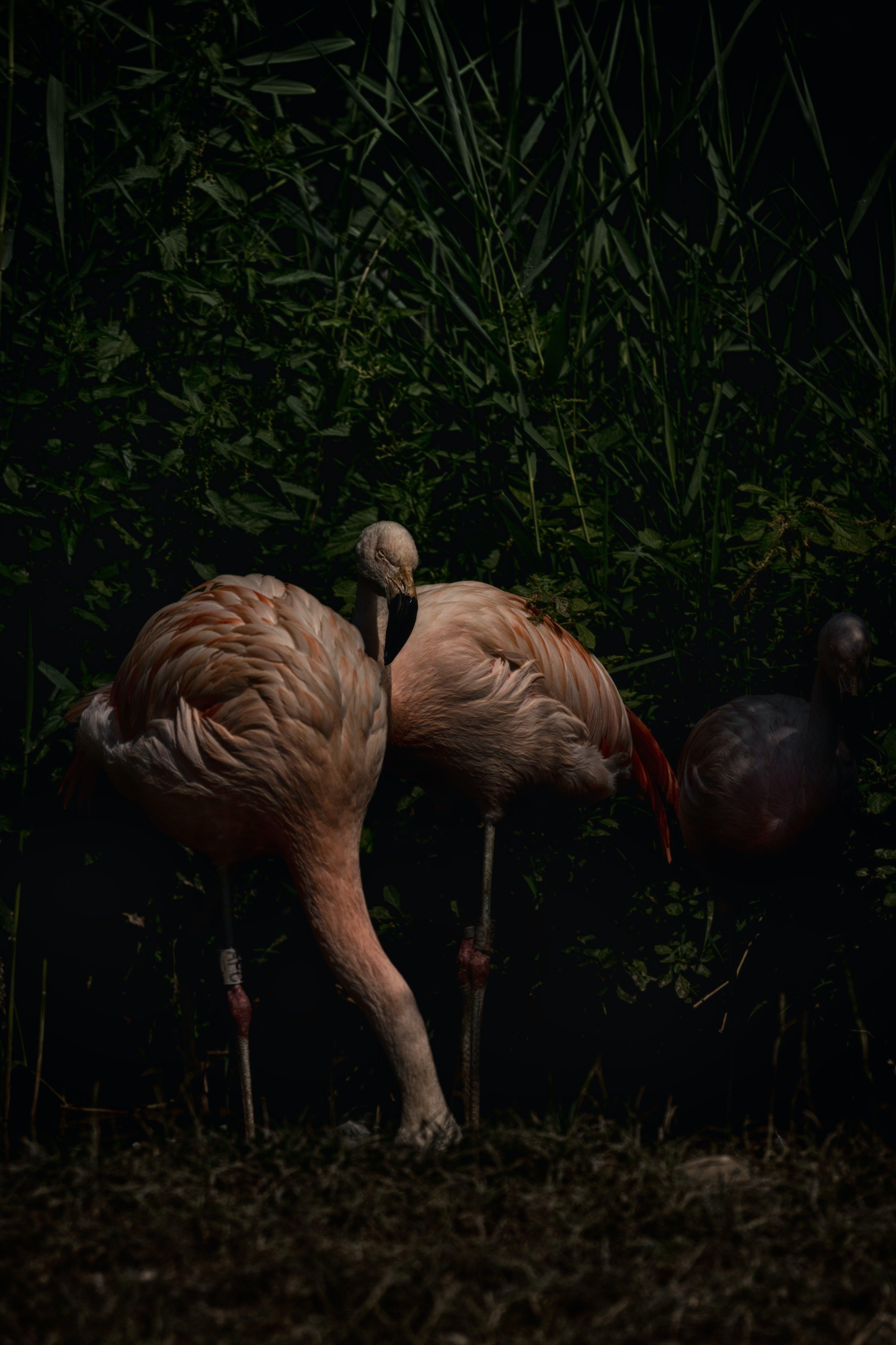 Ingyenes stockfotó állatfotók, címke, flamingó, flamingók témában