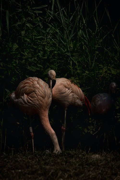 Free stock photo of animal photography, colorful, flamingo