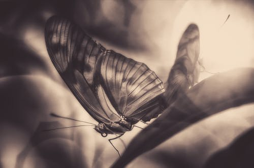 Free stock photo of black-and-white, black&white, butterflies