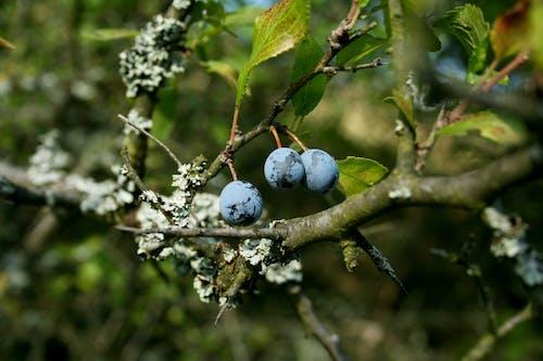 Photos gratuites de berrie, genévrier, mousse, nature brindille