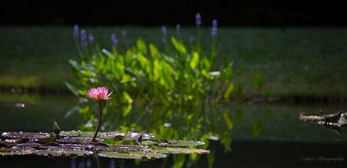 Δωρεάν στοκ φωτογραφιών με gibbs garden, pondflower, λιμνούλα, λουλούδι