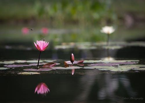 Δωρεάν στοκ φωτογραφιών με #gibbs garden, λιμνούλα, νερό, ροζ λουλούδι