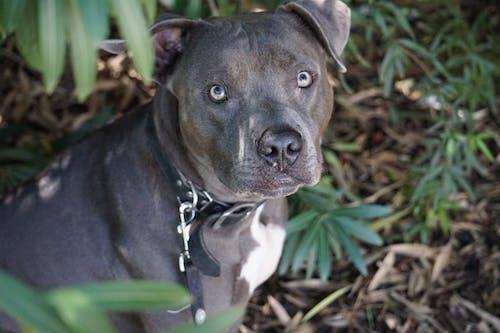 Free stock photo of blue nose pit bull, dog, dog head, pit bull dog