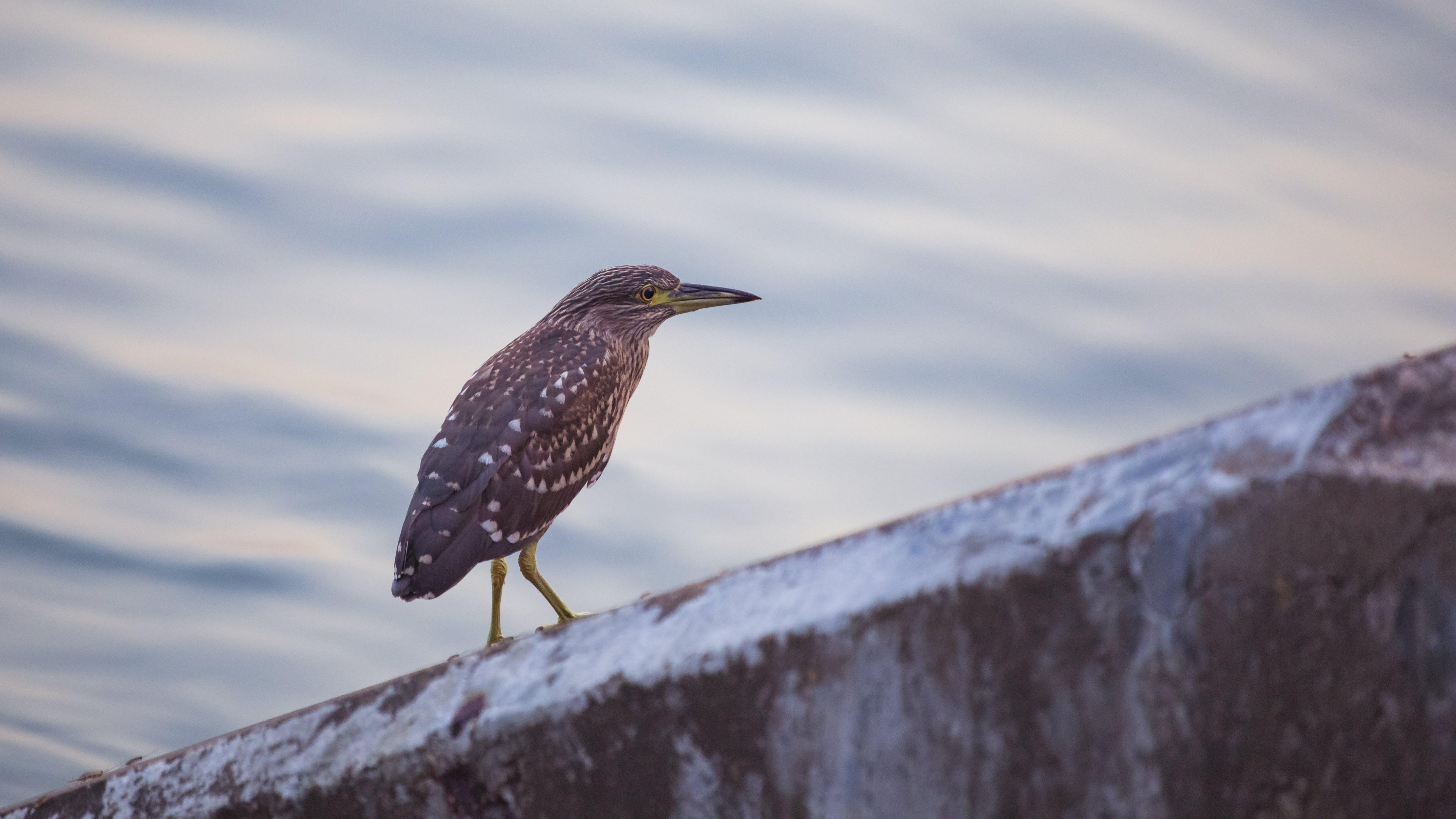 Selective Focus Photography of Green Heron