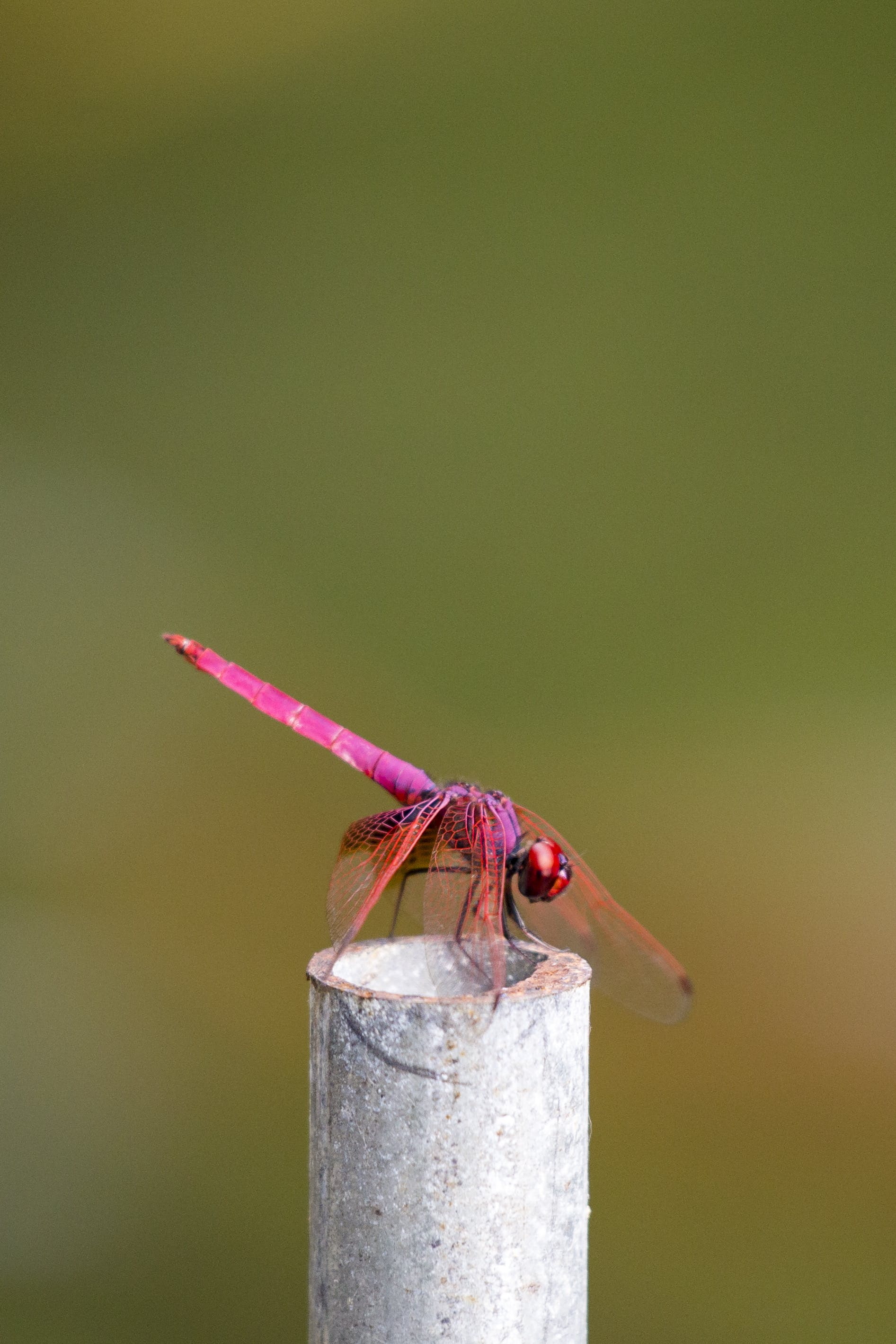 Selective Focus Photography Of Pink Dragonfly Perched