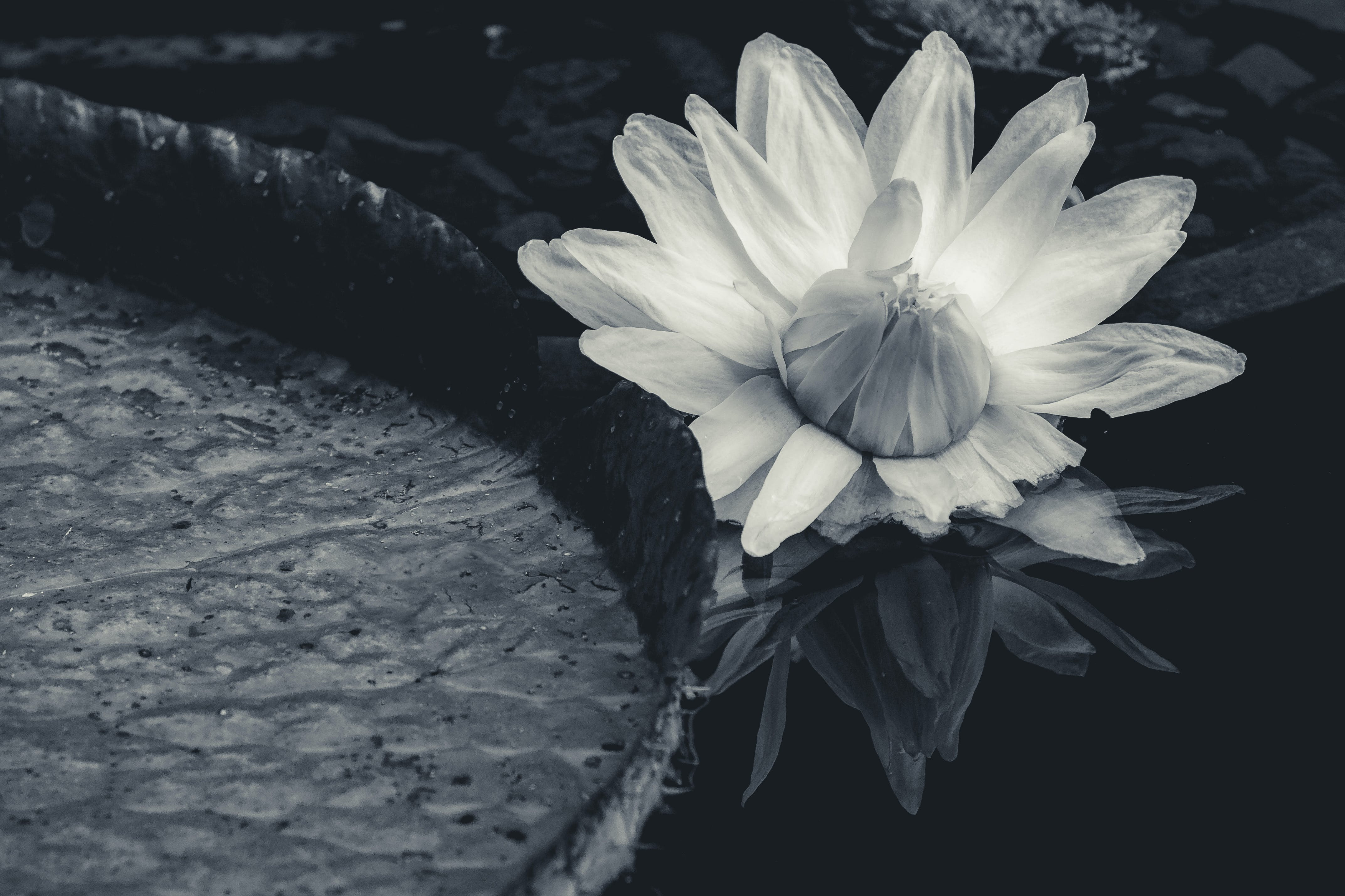 Free stock photo of black and white, floating, flower, lotus