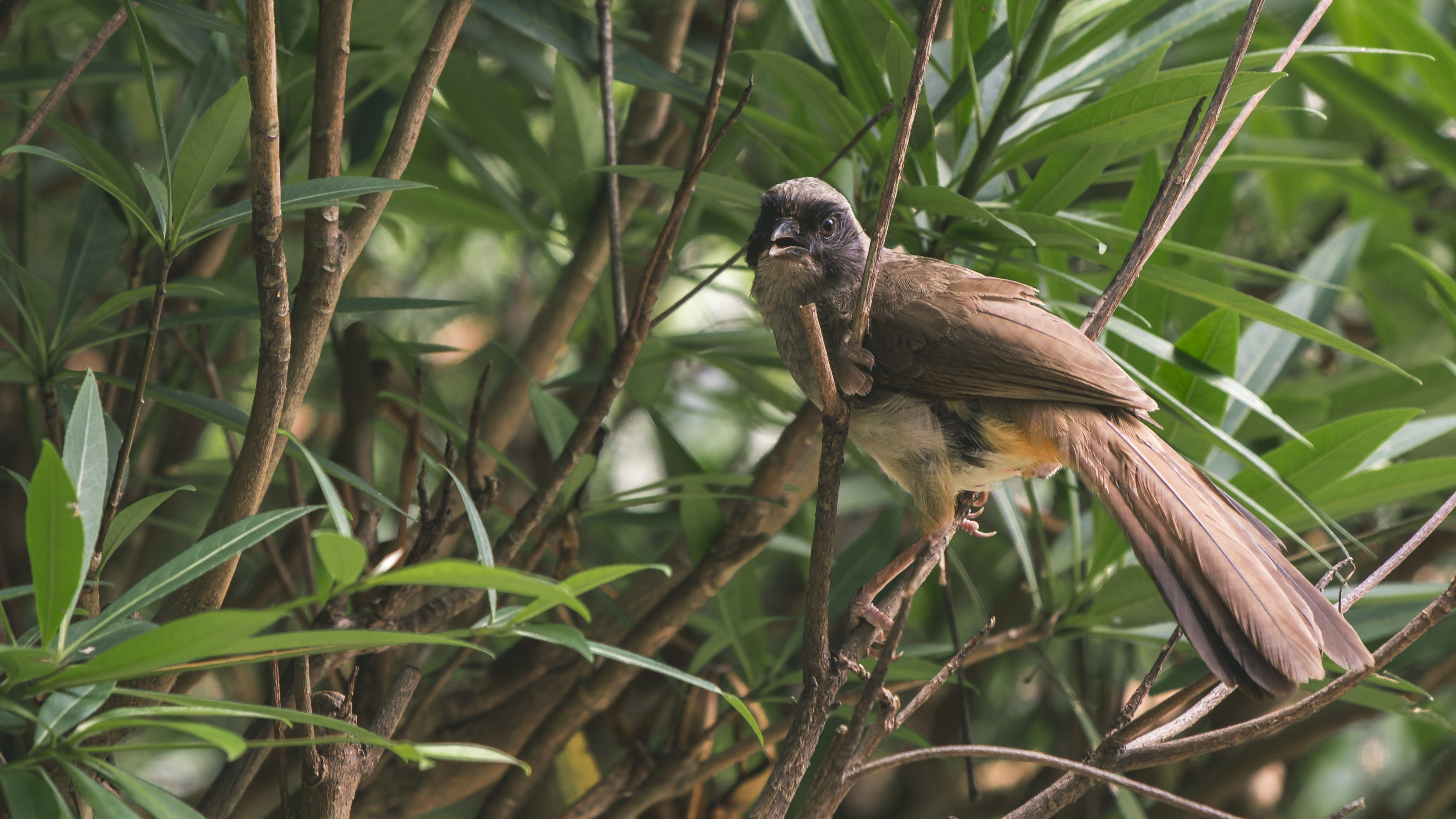 Yellow-vented Bulbul Perching On Branch